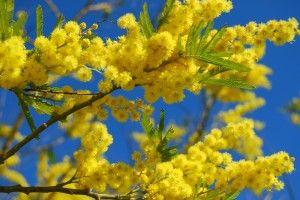 """HISTOIRE DU MIMOSA: """"La ville de Mandelieu-La Napoule, dans les Alpes-Maritimes, est la capitale internationale du mimosa. Depuis 1931, on l'y célèbre d'ailleurs tous les ans, au mois de février lors d'une grande fête populaire qui dure 10 jours.   Le mimosa fut importé en France sur la côte méditerranéenne depuis l'Australie au début du XIXème siècle par le grand explorateur James Cook. L'arbuste s'adapta alors formidablement à son nouvel environnement, appréciant le climat ensoleillé et…"""