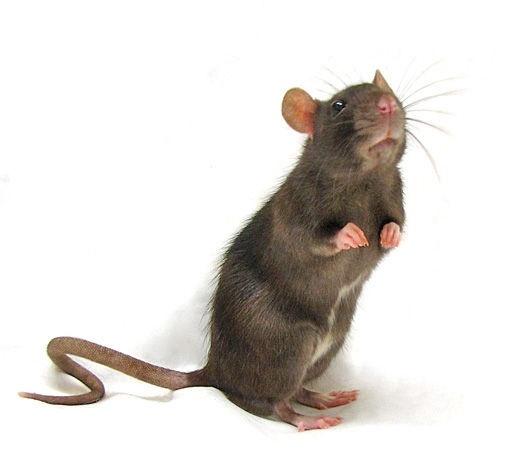 1000 Images About Rat On Pinterest