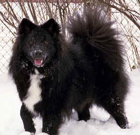 #Finnish #Lapphund - a new AKC breed.  Adorable!