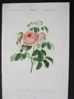 Rose. Hand colored steel engraving. Orbigny.1856.  170 x 270 mm