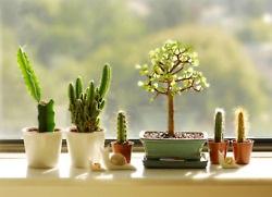 Suculent cacti bonsai