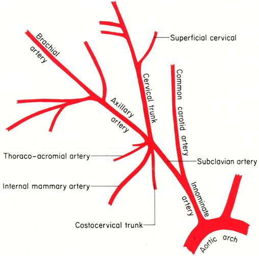 Branches of subclavian artery