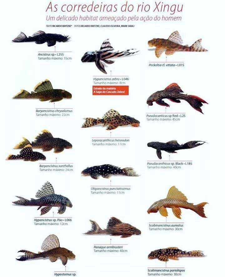25 best ideas about plecostomus on pinterest freshwater for Cool fish for sale