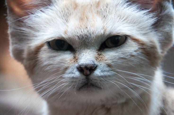 Sandkatze - Sand Cat -