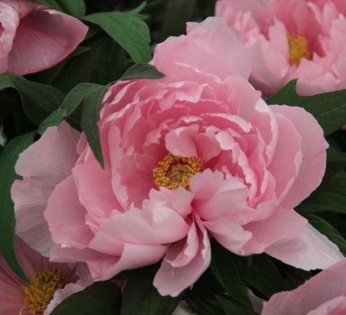 Planting and caring for tree peonies. Yachiyo-tsubaki (syn. Eternal Camellias) - Japanese Tree Peony