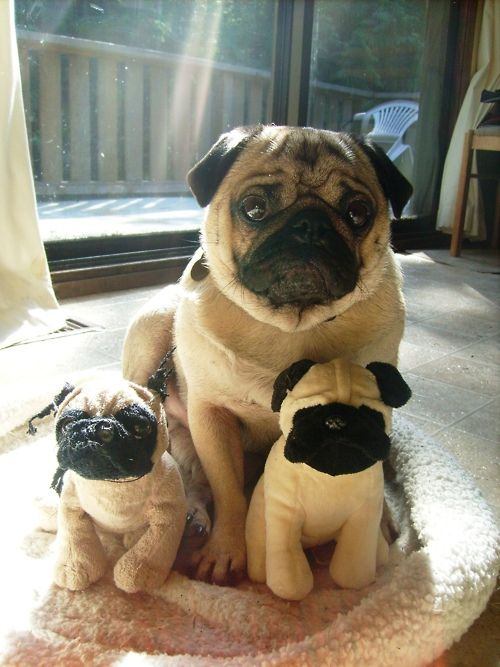 Sometimes a pug needs some pug friends, even if they're stuffed animals.