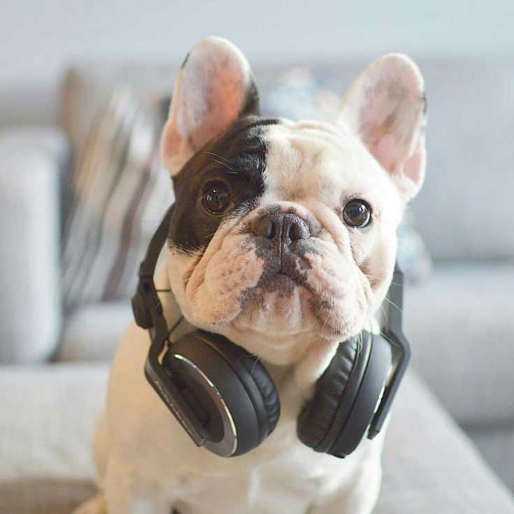 Manny the DJ, French Bulldog ❤️❤❤