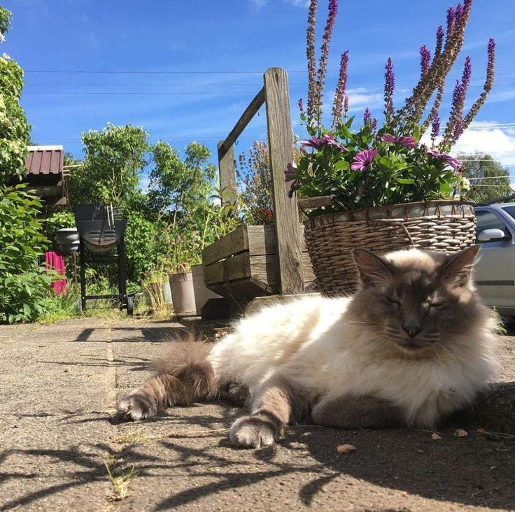 The Warm Balinese cat Breed    Balinese cat Origins      The Balinese is a long haired domestic cat breed with a Siamese style color point. Also, referred to as the long haired Siamese, this cat breed is a mutation