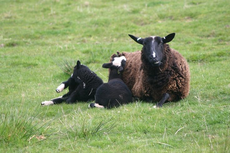 Rare breeds sheep at Higher Wiscombe, these are Dutch Zwartbles....