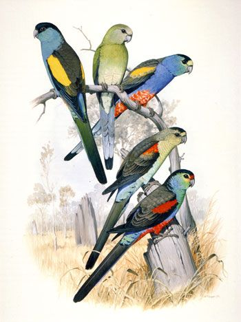 Those who occupy termite mounds (shouldered parrots) - illustration by William T. Cooper
