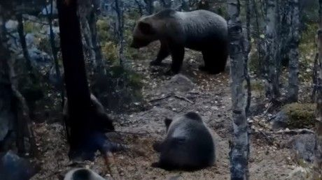 Secret life of bears: Hidden cameras capture 'vicious' mother & 3 cubs roaming woods (VIDEO) https://tmbw.news/secret-life-of-bears-hidden-cameras-capture-vicious-mother-3-cubs-roaming-woods-video  Sweden has set up hidden cameras in the woods to see what bears get up to when no one is watching.The Värmland county board, located in west central Sweden, set up the camera to track bears and other wildlife to gain a better understanding of their natural behavior.In August, the cameras first…