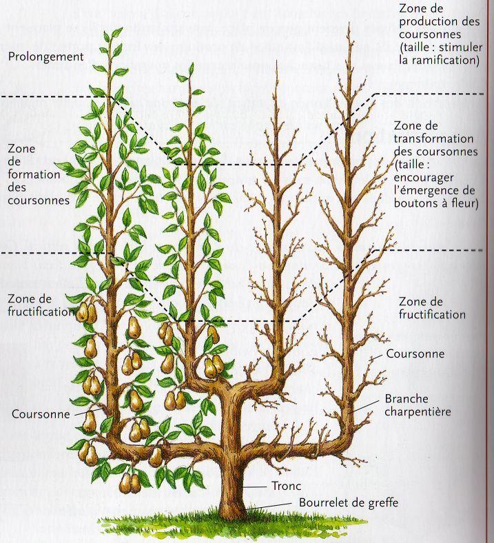 17 best id es propos de taille arbre fruitier sur pinterest taille framboisier taille des. Black Bedroom Furniture Sets. Home Design Ideas