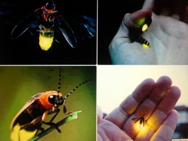 67 Best Firefly Bugs Images On Pinterest Fireflies Glow Worms And Insects