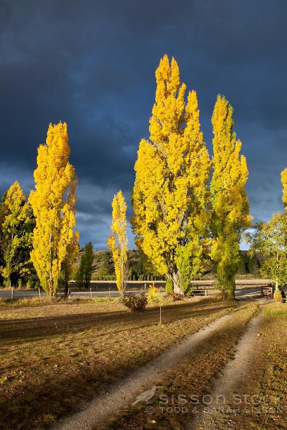Late afternoon sunlight creates dramatic light on autumn poplars against a dark sky