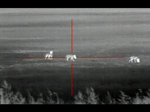 Thermal Coyote Hunting with the ATN ThOR - 13 Coyotes Down - YouTube