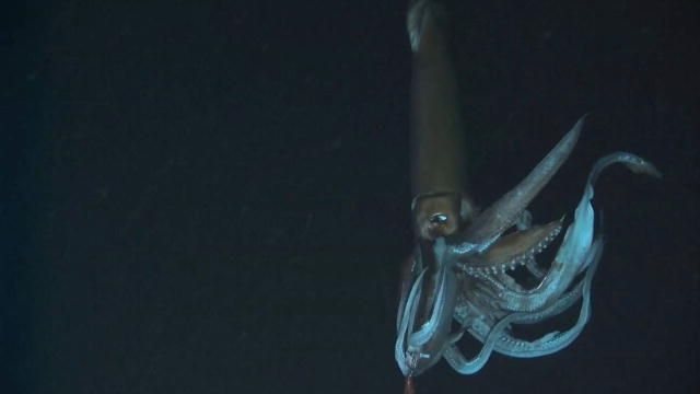 Monster Squid: First Video of a Giant Squid : Video : Discovery Channel