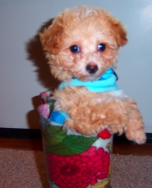 Meet Bella,a nine-week old Bichon-Toy Poodle puppy who is simply too cute for words.