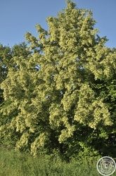 #Cosmos in the #Garden - Linden #Flowers #Tea #Recipe - #gardening #flower #recipes #kitchen #nature