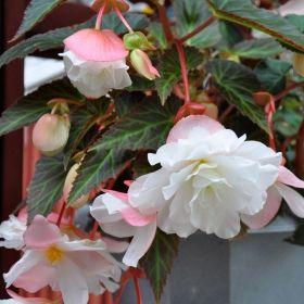 HÄNGBEGONIA F1 'Illumination White' Strålande vacker med kaskader av vita, dubbla, hängande blommor. Rosatonade stödblad och dekorativt ådrat bladverk ger fin kontrast. Perfekt för amplar och lådor.