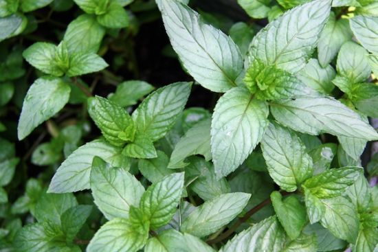 10 Growing Tips & Uses For Chocolate Mint..not that mint is hard to grow..but some good recipe ideas