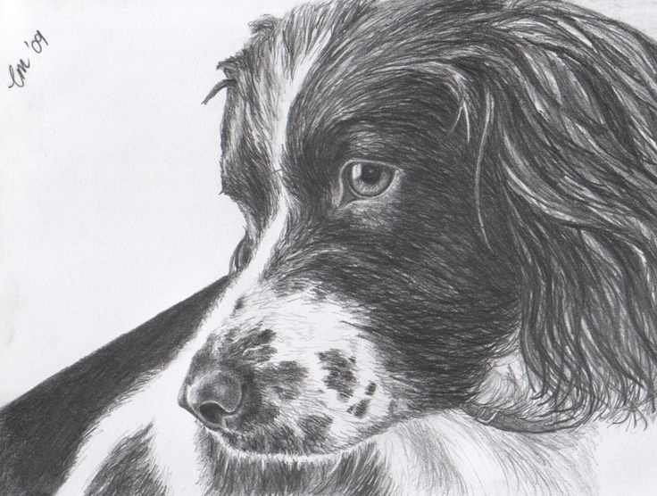 Pencil drawing of a spaniel.