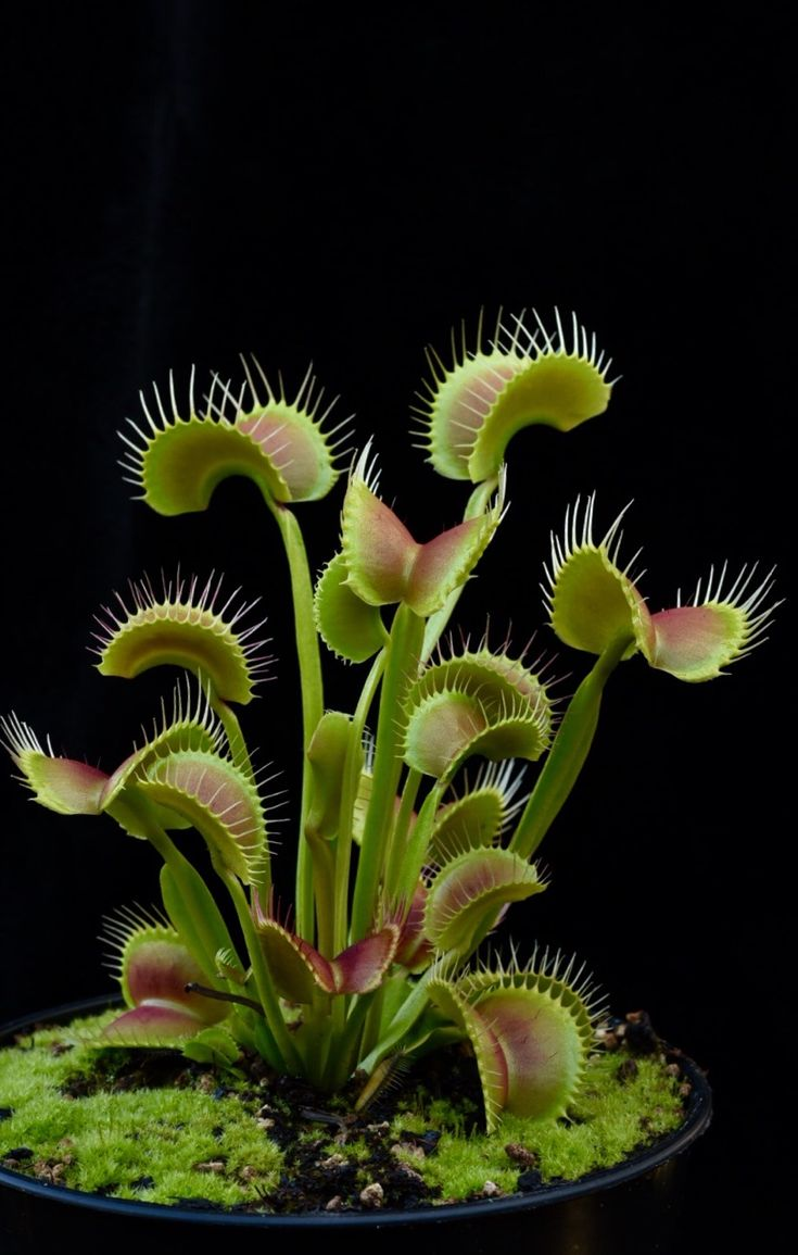 Beautiful Venus Flytraps clones from the...