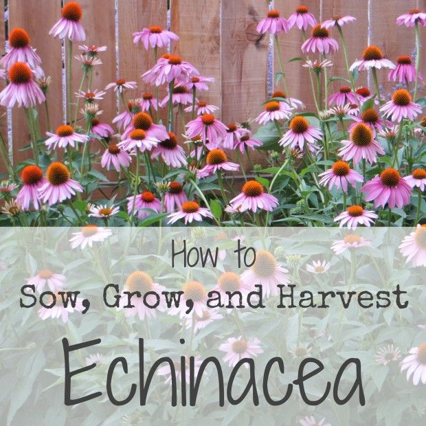 Purple coneflower is a beautiful garden plant, but did you know it's also the source of medicinal echinacea?