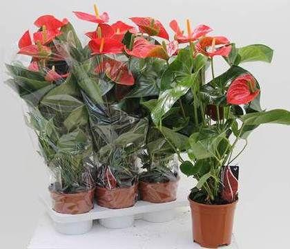 Anthurium  Florpagano di Antonio Pagano (piante e fiori) www.florpagano.com