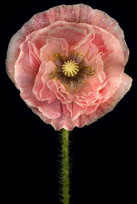 Quite a beauty.  My first-year poppies only had two blooms this summer, but I'm hoping next year they fare much better.