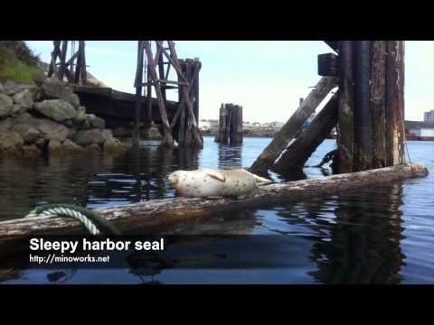 Sleepy harbor seal - YouTube