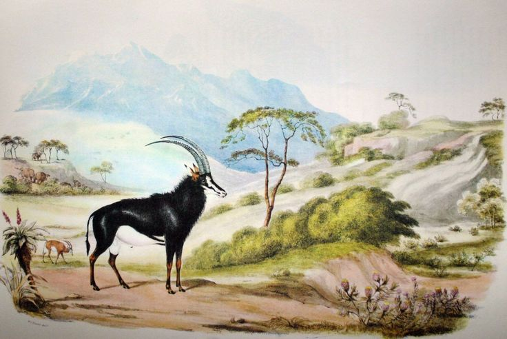 Painting of a sable by Cornwallis Harris, a major influence of the thinking behind my Magaliesberg project.