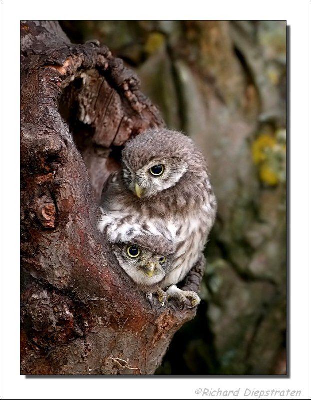 Little owl (Athene noctua)   Steenuil - Athene noctua - Little Owl photo - Richard Diepstraten ...