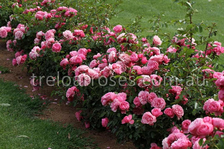 8 best images about roses only pink floribunda bush. Black Bedroom Furniture Sets. Home Design Ideas