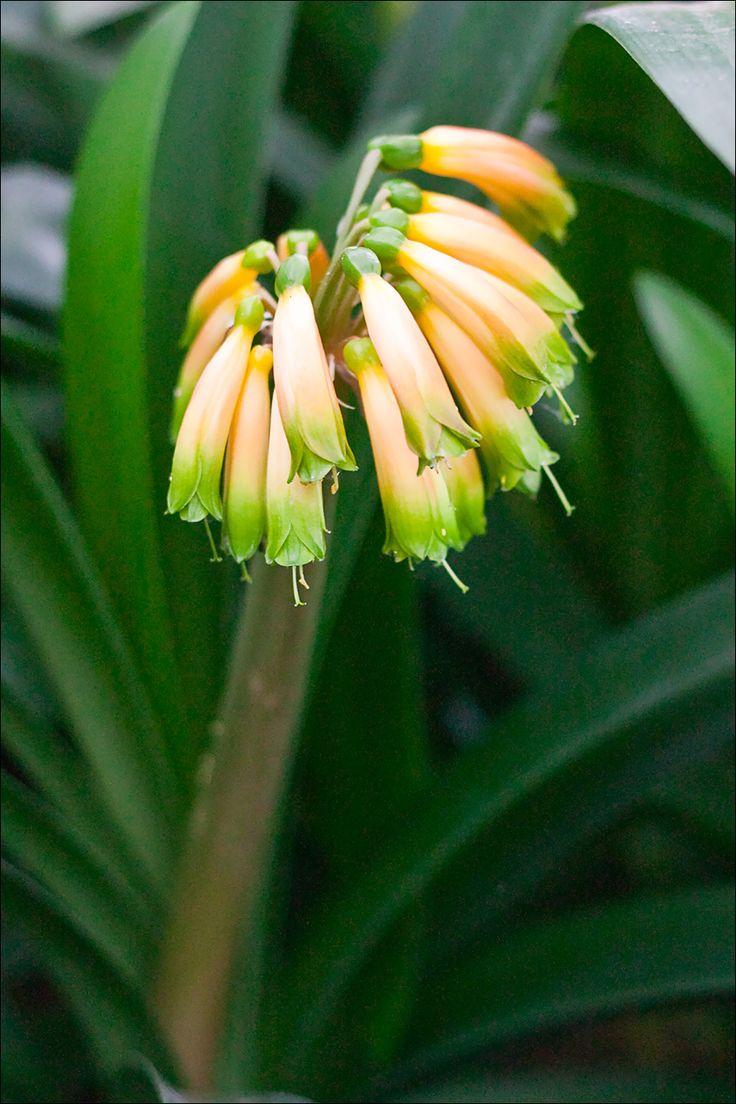 Clivia gardenii, Pink 8.  Colorado Clivia plant number 668.