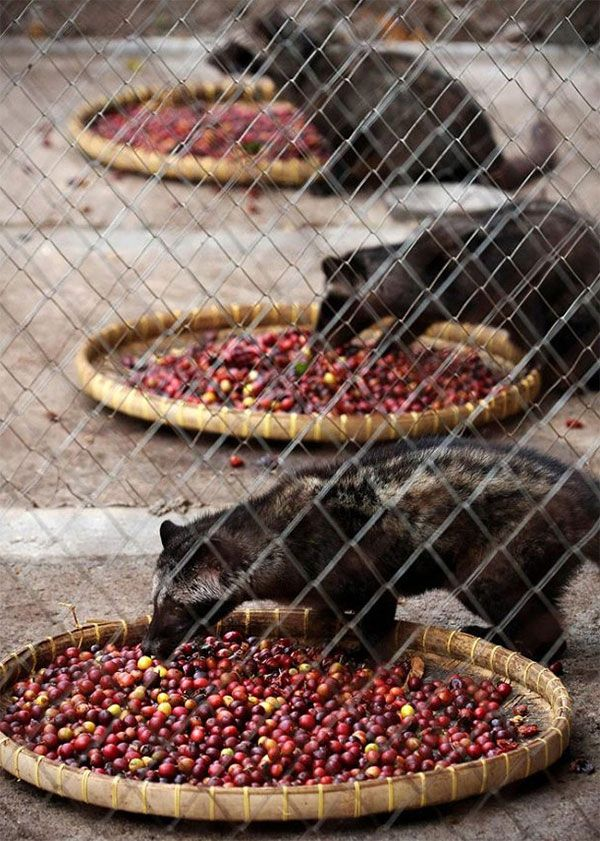 Kopi Luwak - The Most Expensive Coffee In the World. So we Sell Luwak Coffee and Other Types of Coffee. 100% Original. Ship Worldwide. Rsvp: Mr. Ari Gusti. M +62881 942 85 92 (SmartFren). BlackBerry PIN 31C05915. Your inquiry will brighten our days, along with a cup of coffee!
