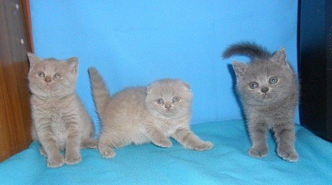 Предлагаются к резервированию и продаже шотландские котята вислоухие и прямоухие следующих окрасов : лиловый голубой и колорпойнт. Наши котята максимально соответствую стандарту породы. Идеальное прилегание ушек и большие круглые глазки делают наших котят похожими на совят. Родители малышей клубные, выставочные, имеют соответствующие титулы и сертификаты. Цены уточняйте. Продаются в качестве домашних любимцев или в разведение.