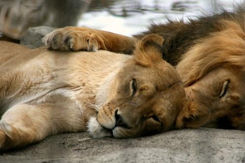 lion couple | Tumblr