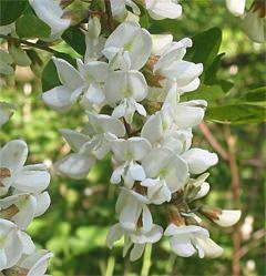 Agát biely Využitie  Kvet zlepšuje chuť do jedenia, povzbudzuje vylučovanie tráviacich enzýmov. Flavonoidy zlepšujú činnosť močových ústrojov. Spolupôsobenie silice uvoľňuje hladké svalstvo močových ciest, tráviacej trubice a žlčových ciest – uvoľňuje kŕče hladkého svalstva a pôsobí proti nim aj preventívne. Viaceré zložky pôsobia na zníženie žalúdočnej kyseliny.