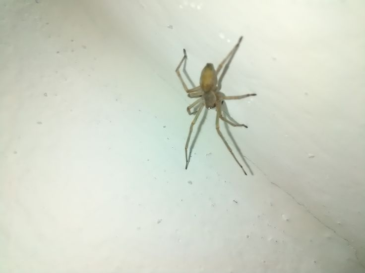 pavouk/araneae (doma)