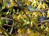 Forcing Spring Flowering Trees and Shrubs  A Breath of Spring for the Impatient Gardener