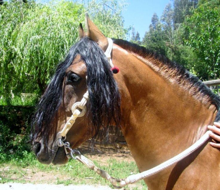 Chilean horse adornos peleco romario caballos for Cabezadas para caballos