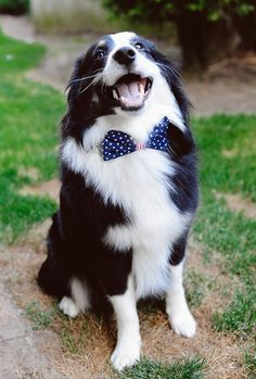 Border Collie Petsync