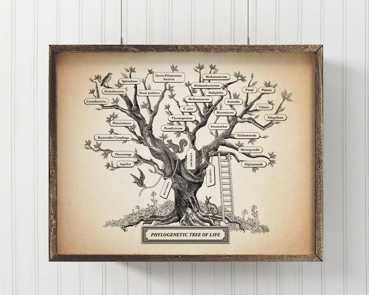 Microbiology Phylogenetic Tree Of Life Poster, Science art, Biology print, Evolution wall decor, 8 x 10 in,  11 x 14 in by TheForestCloak on Etsy https://www.etsy.com/listing/223610381/microbiology-phylogenetic-tree-of-life