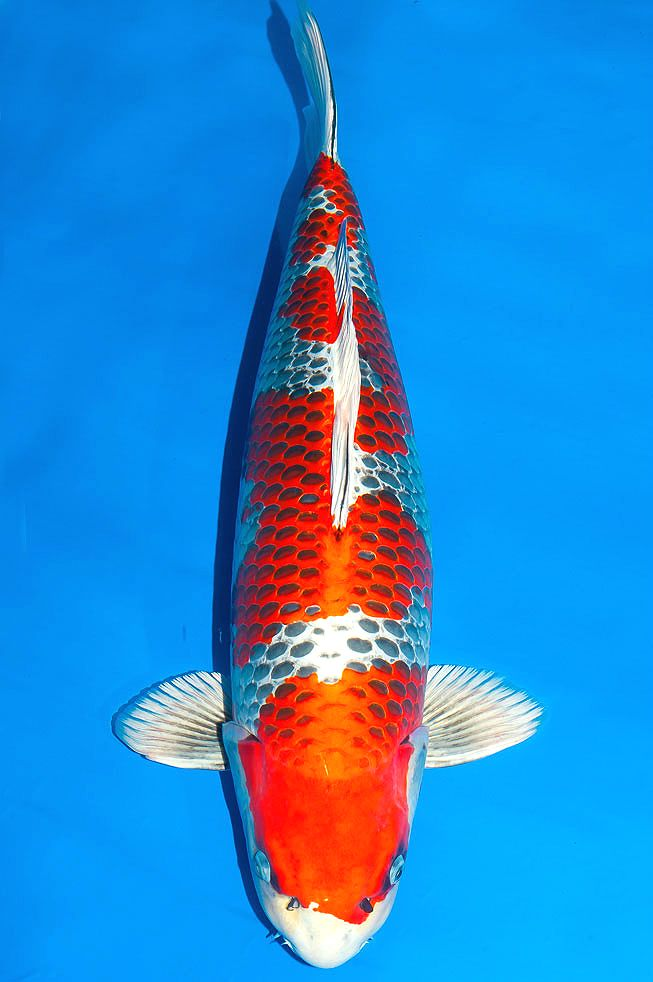 17 best images about amazing koi and koi ponds on for Amazing koi fish