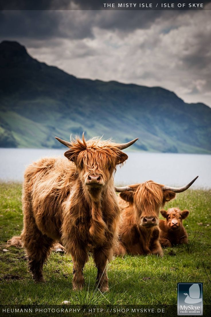 135 best coos images on pinterest highland cattle scottish