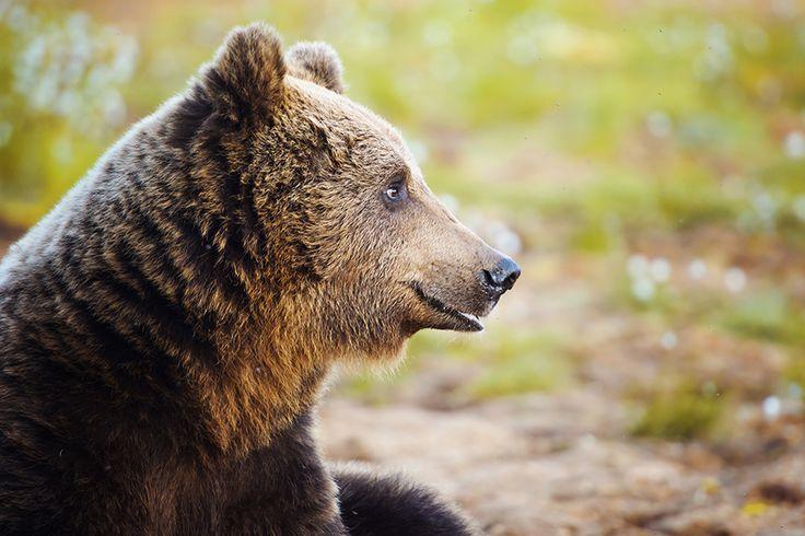 Bear Spotting Finland