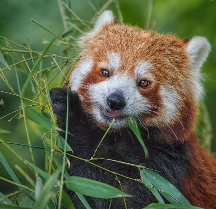 hi, my name is Olivia and I am the cutest red panda, living in Rotterdam Zoo, Blijdorp. Didn't have the best start in live, my mum died when I was just a few weeks old and I had to be brought up by humans. Maybe that's why they haven't been succesfull yet in finding me a suitable boy- friend cause so far I didn't like any of the ones paying me a visit... Too bad for the zoo as they care for our species so much!  We have been classified as vulnerable in the IUCN Red List since ...