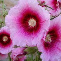 шток роза посадка и уход | Розы, Комнатные цветы, Цветы