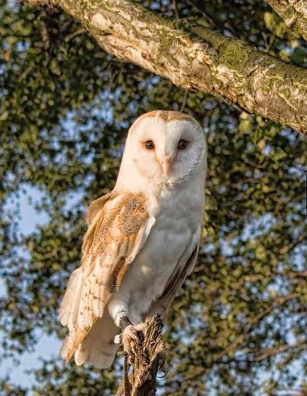 Tilly our Common Barn Owl