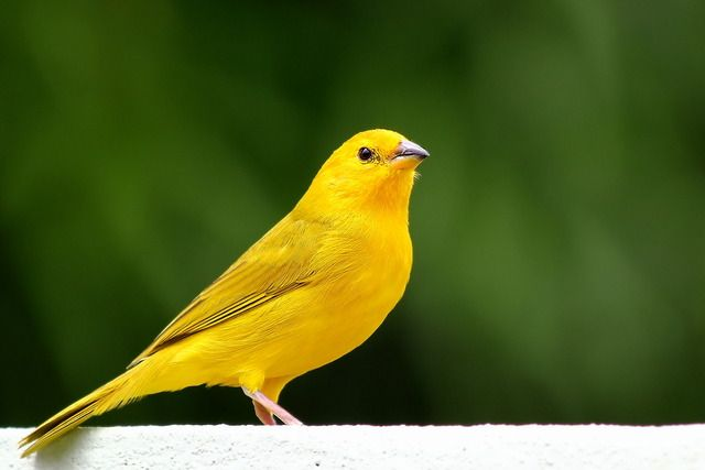 Photo canary-of-ground-true (Sicalis flaveola) by Marcelo Camacho | Wiki Aves - The Encyclopedia of Birds of Brazil